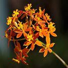 Orange Crucifix Orchid by rom01