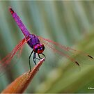 THE VIOLET DROPWING DRAGON FLY- Trithemis annulata by Magriet Meintjes