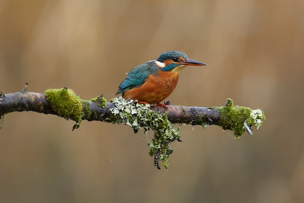 Kingfisher by tjwhite