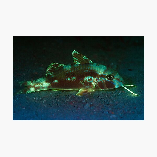 Fluorescent Goatfish, Camp Cove, Sydney Harbour Photographic Print