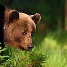 Portrait of Brown bear  by Remo Savisaar