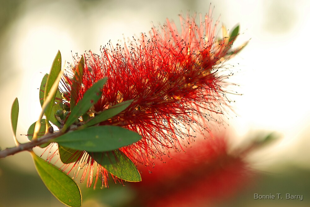 Joanne's Bottlebrush by Bonnie T.  Barry