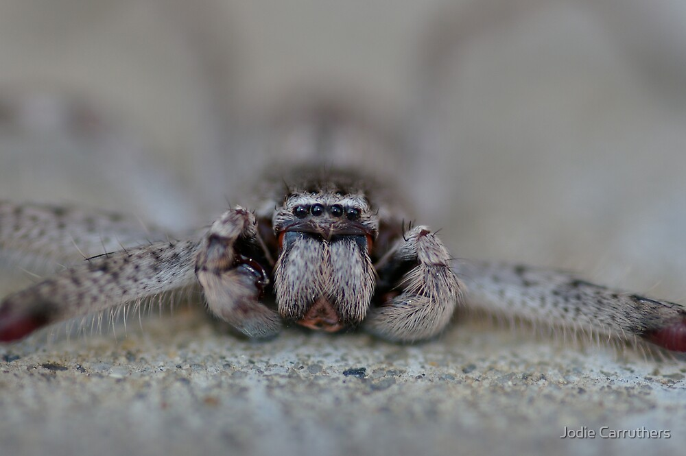 huntsman's shiny eyes  by Jodie Carruthers