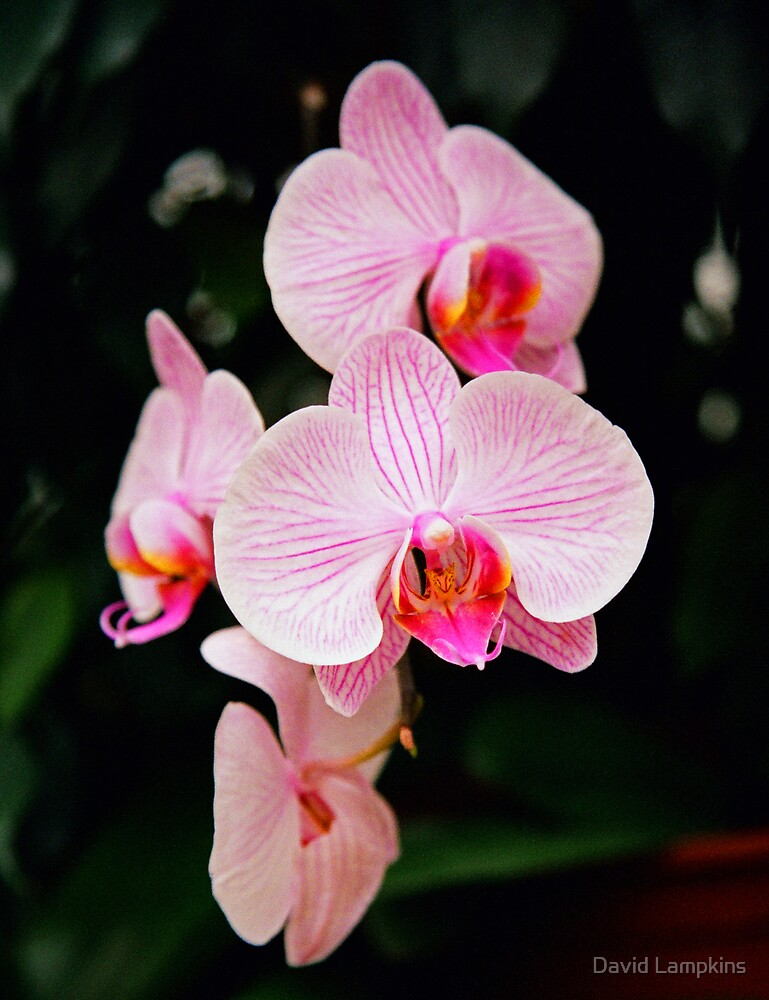 Orchids by David Lampkins