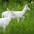 White Deer by wolftinz