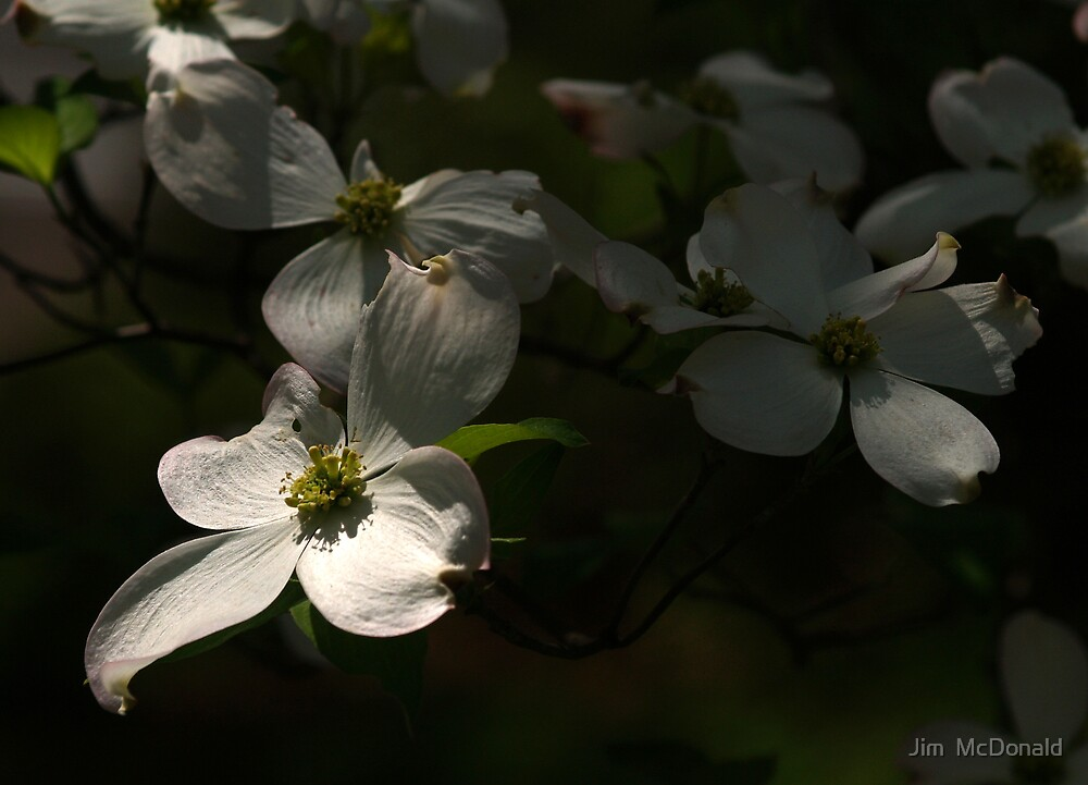 The Secret Life of Dogwoods by Jim  McDonald