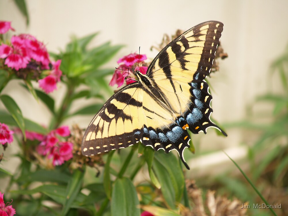 Tiger Swallowtail by Jim  McDonald