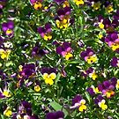 Pretty Pansies    by Marie Sharp