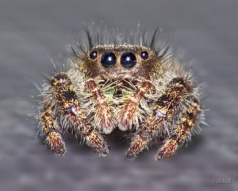 Quot Quot Don King Quot Jumping Spider Quot By Robkal Redbubble