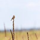 Dickcissel 2017-3 by Thomas Young