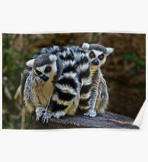Twin Lemurs Poster