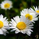Daisies Numbering Five by Nigel Dourley