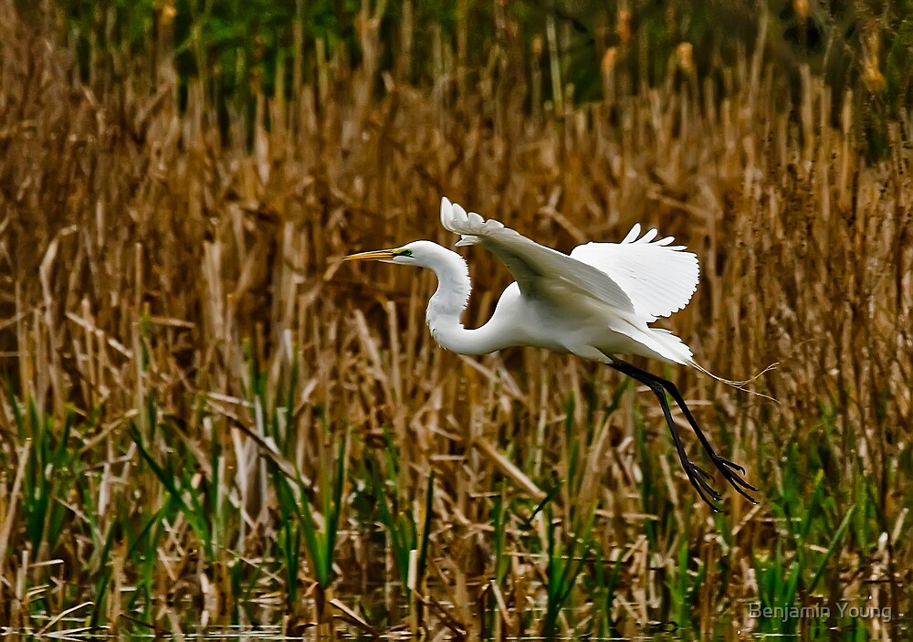 Great American Egret by Benjamin Young