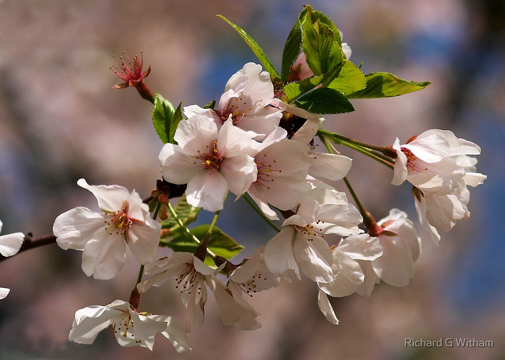 Spring Blossoms by Richard G Witham