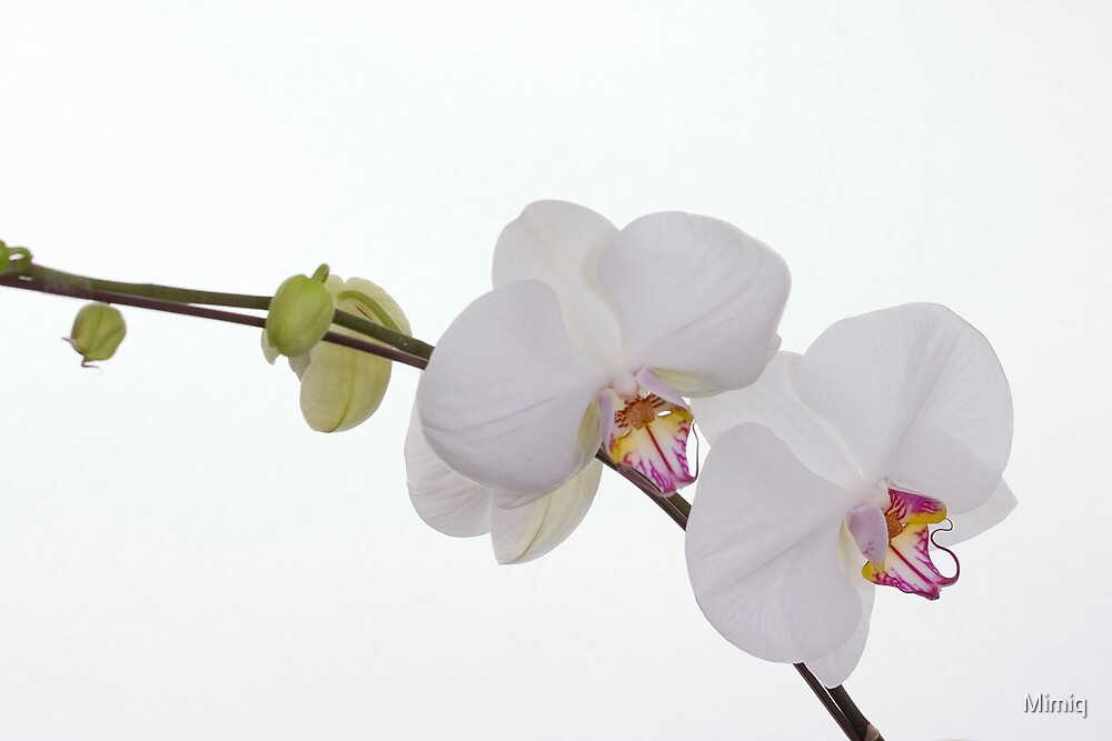 Orchid 2 by Mimiq