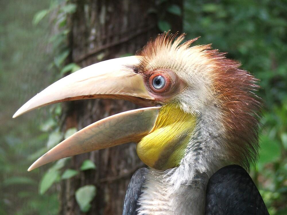 Maned Hornbill by Jason Richard
