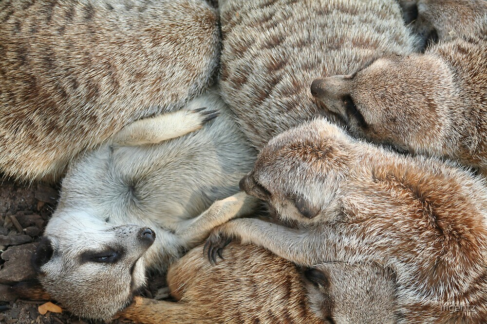 Many Meerkats by mgeritz
