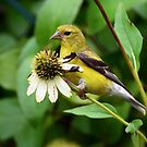 Eastern Goldfinch by Dennis Stewart