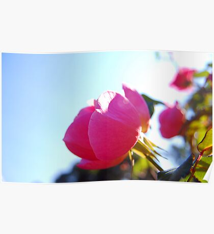 Sunkissed Rose Poster