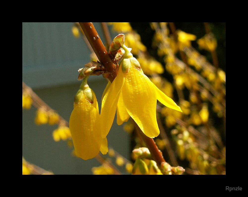 Forsythia #1 by Rpnzle