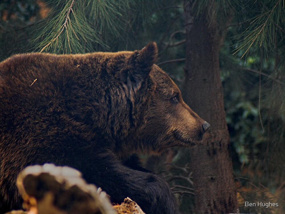 Bear Portrait by Ben Hughes