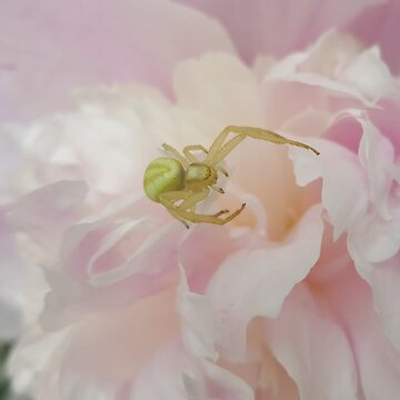 Green Spider on Pink Peony by TheLastOlympia
