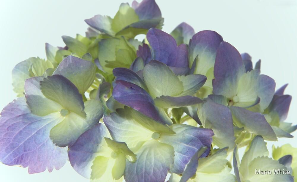 Hydrangea  by Maria White