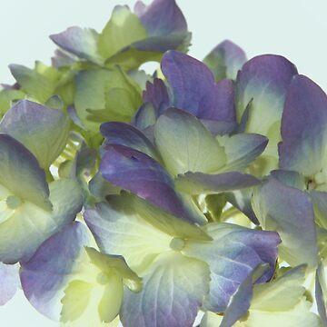 Hydrangea  by mlwhite