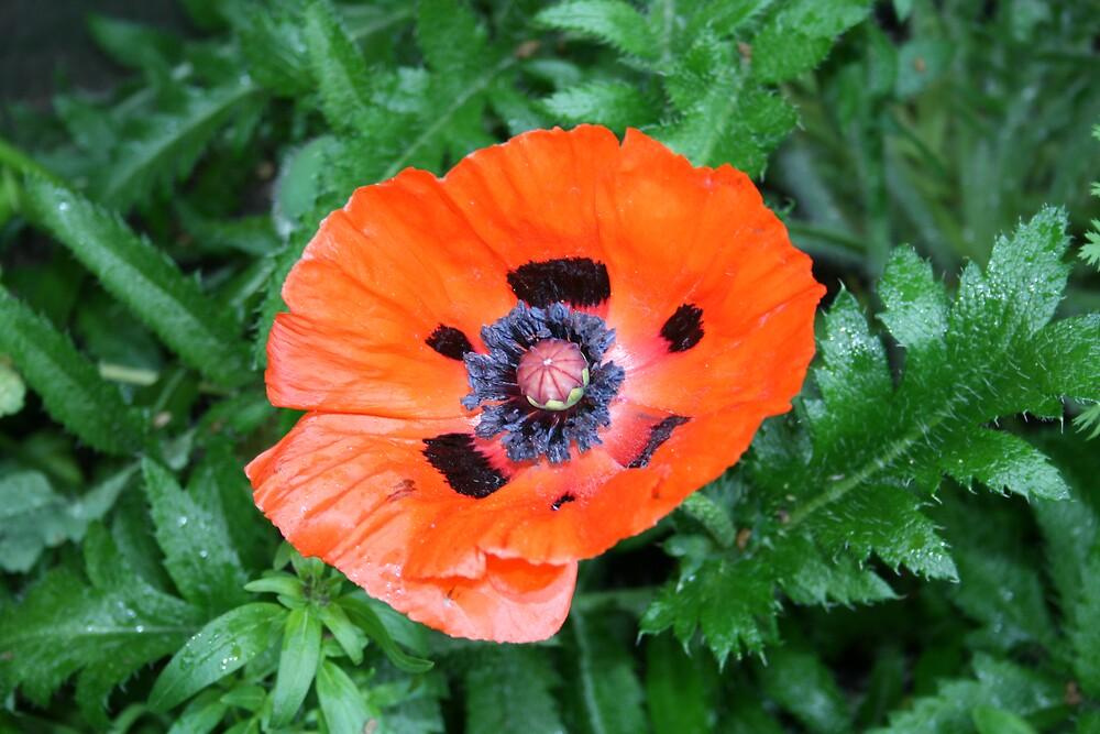 Poppy by jamesrattray
