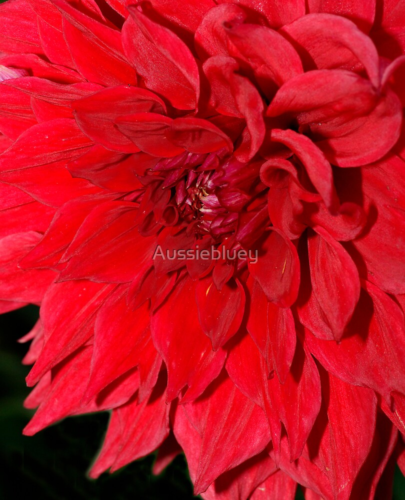 Red Dahlia by Aussiebluey