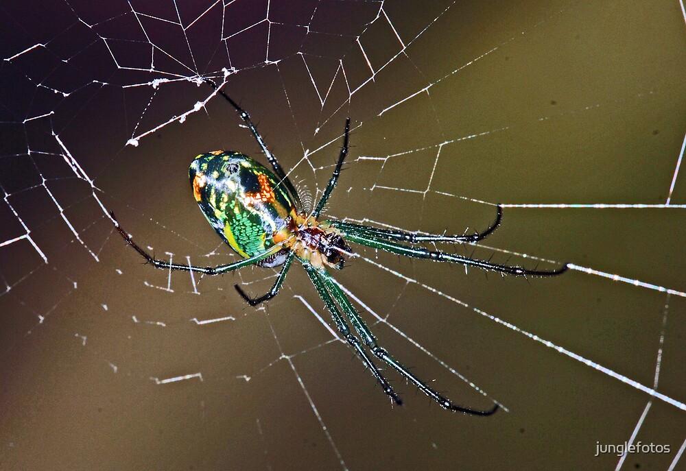 Panama spider by junglefotos