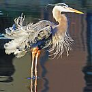Great blue heron fluffing its feathers! by Anthony Goldman