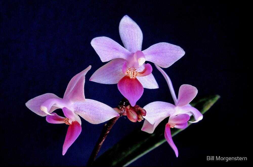 Orchid Ballet by Bill Morgenstern