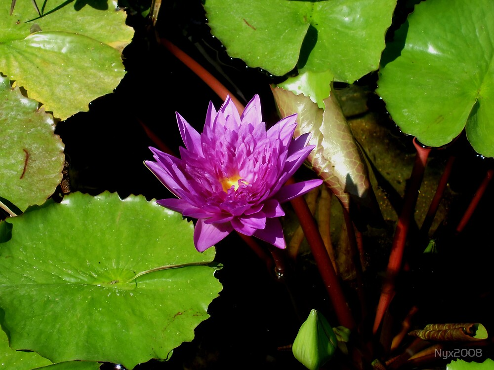 Waterlily by Nyx2008