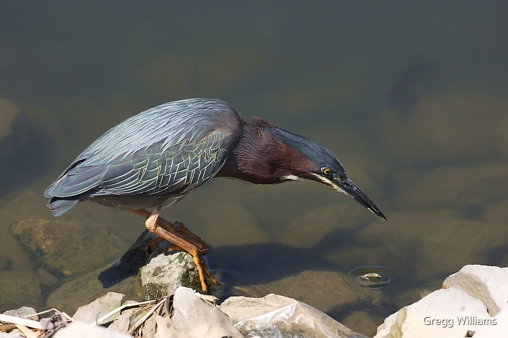 Green Backed Heron by Gregg Williams