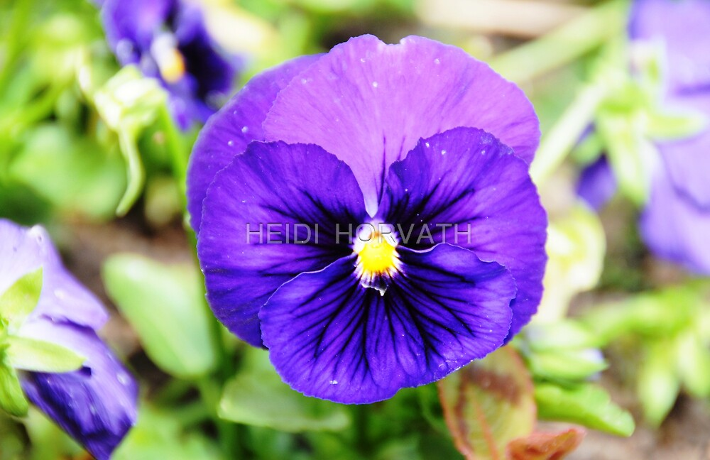 Pansy delight. by HEIDI  HORVATH