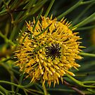 Isopogon anethifolius. by Bette Devine