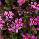 Fraser's Boronia. by Bette Devine