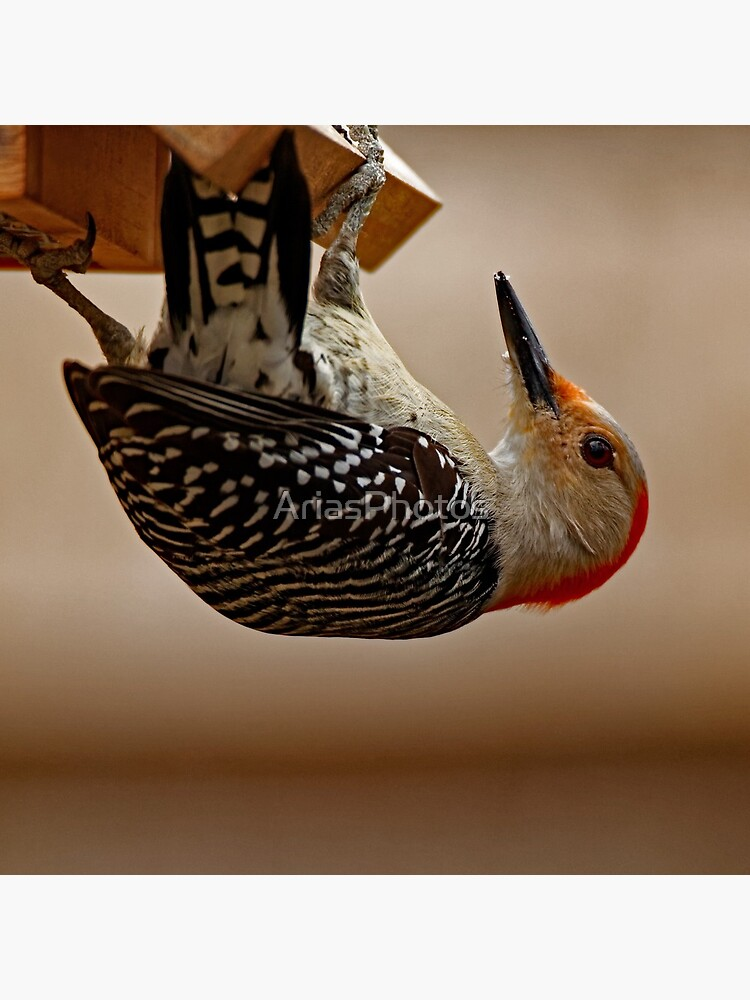 Red-Bellied Woodpecker on a Feeder by AriasPhotos