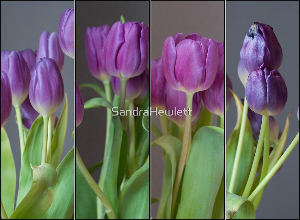 Tulip by SandraHewlett