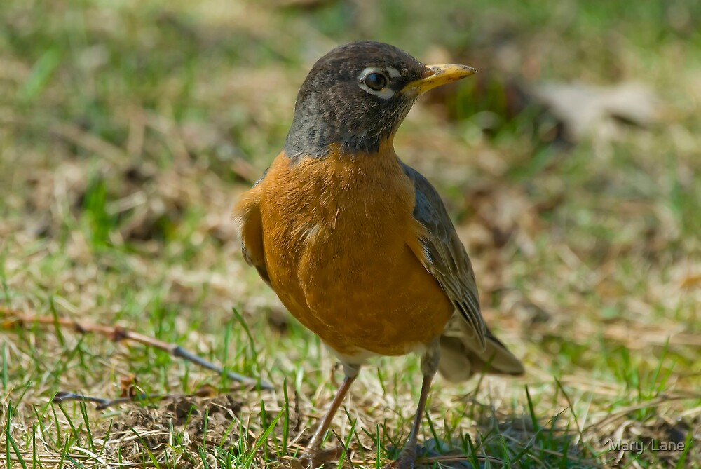 Robin by Mary  Lane