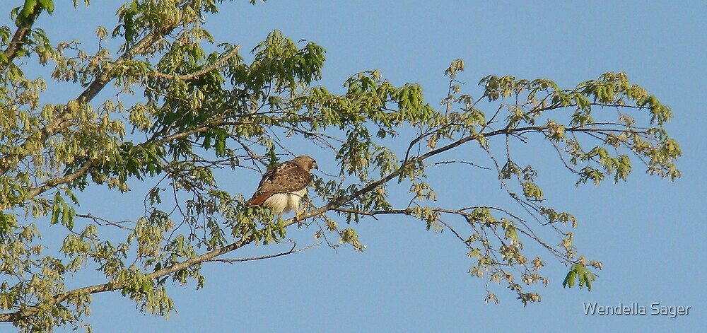 Red-tailed Hawk by Wendella Reeves