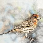 Red Headed House Finch in Watercolors by AspenWillow