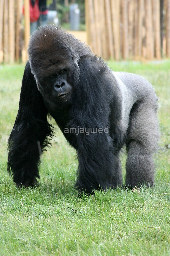Western lowland gorilla #2 by amjaywed