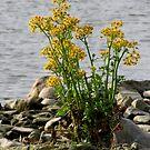 Rocks, Wildflowers, River by Veronica Schultz