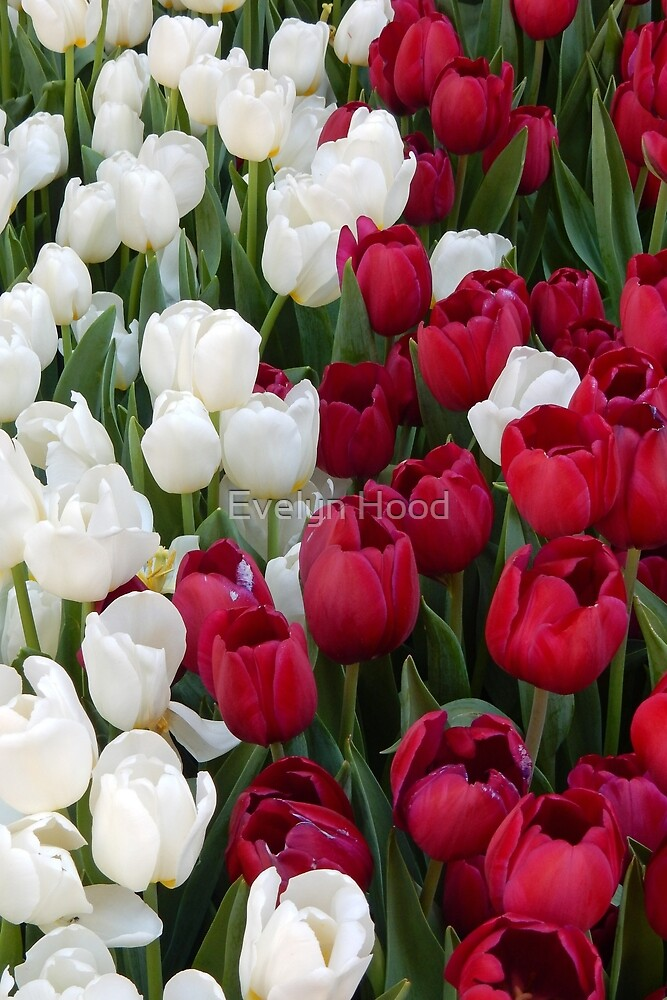 Red and White Tulips by Evelyn Hood