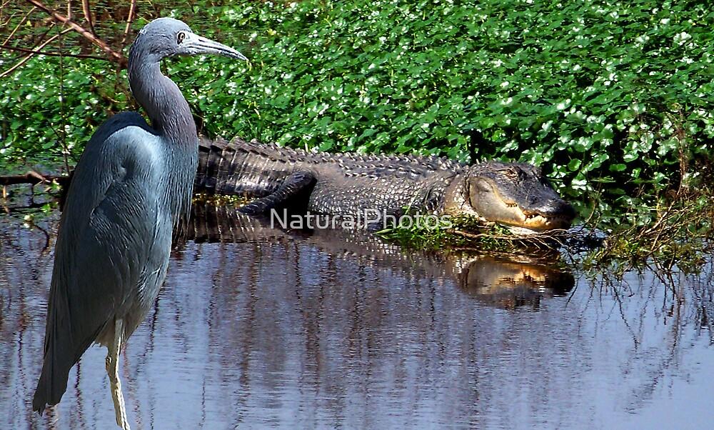 Florida Wildlife by NaturalPhotos