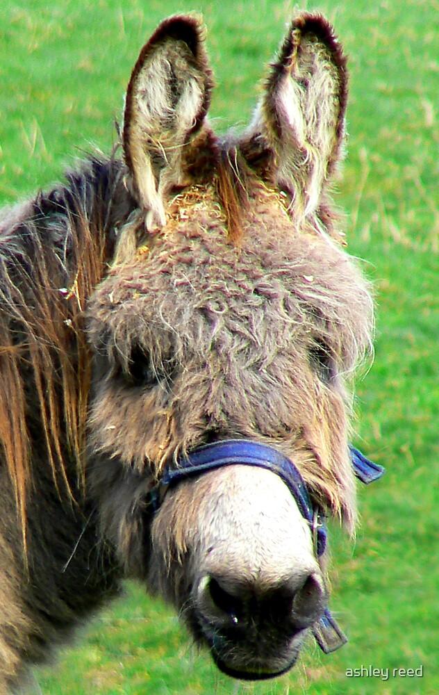 donkey by ashley reed