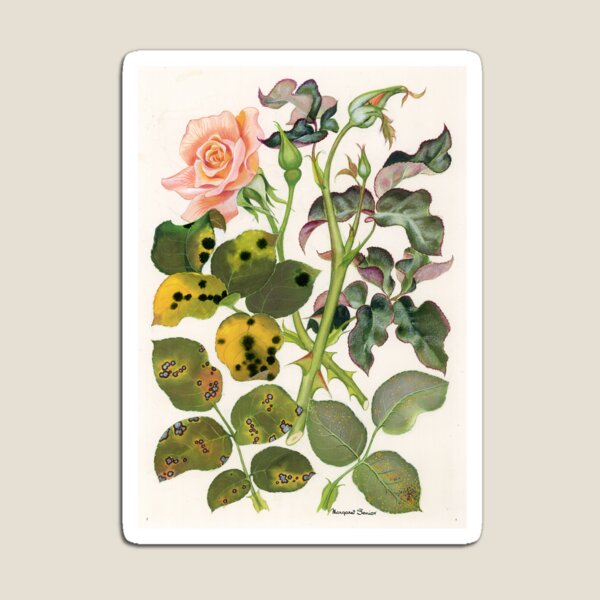 Foliage Diseases of Roses Magnet