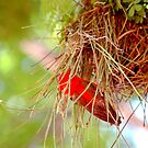 NESTING OF THE REDHEADED WEAVER - Anaplectes rubriceps -  Rooikop wewer by Magriet Meintjes